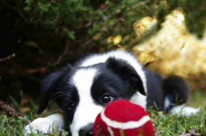 Border collie puppy and ball