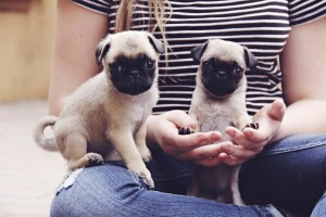 Pug puppies teeny tiny