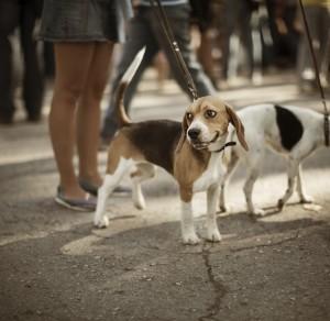 cute beagle on the street