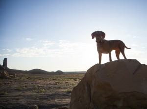 Vizsla dog pointing in Badlands central desert of Utah eroded di