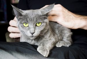 Gray Cat Sits In Man's Lap
