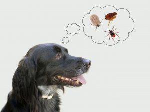 Dog considering health risks of tcks, fleas