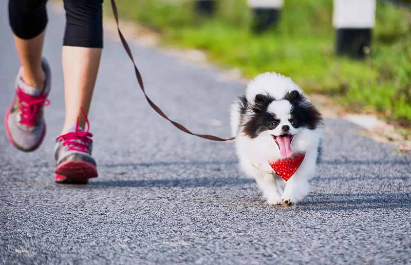 Black and white dog on leash with woman jogging