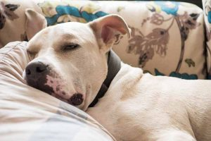 Recovering from pet surgery requires post-op pet care