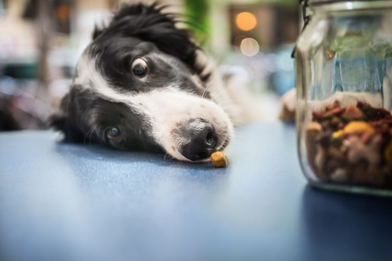 A black and white dog focuses on a treat in front of his nose.