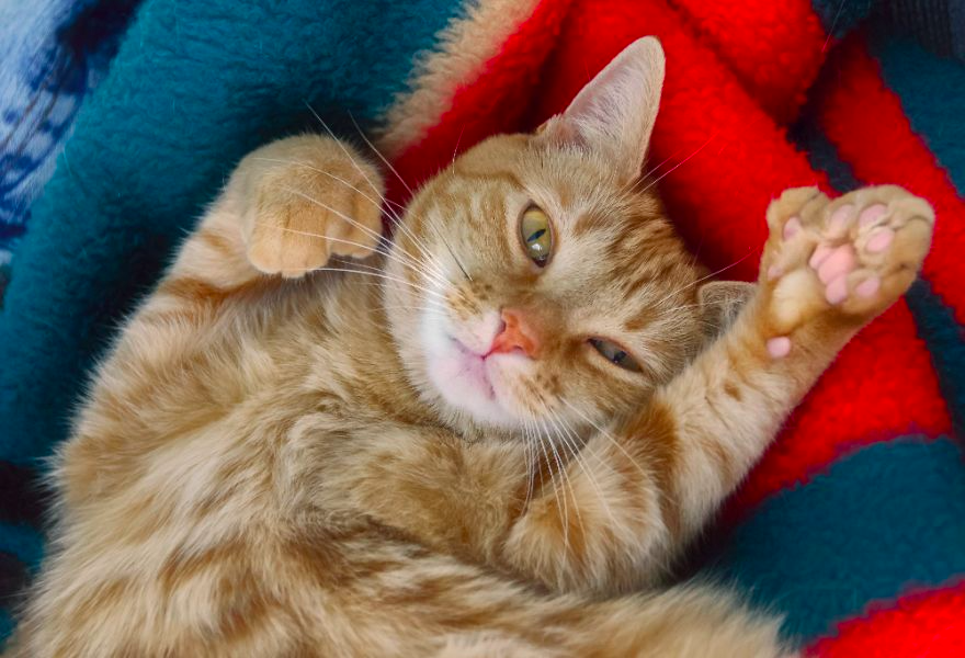 Adorable polydactyl cats, like this friendly orange striped cat, deserve special care and love!