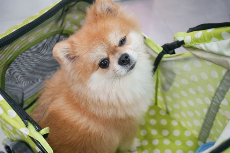 A small dog getting ready to go to the pet boarding facility in a dog carrier.