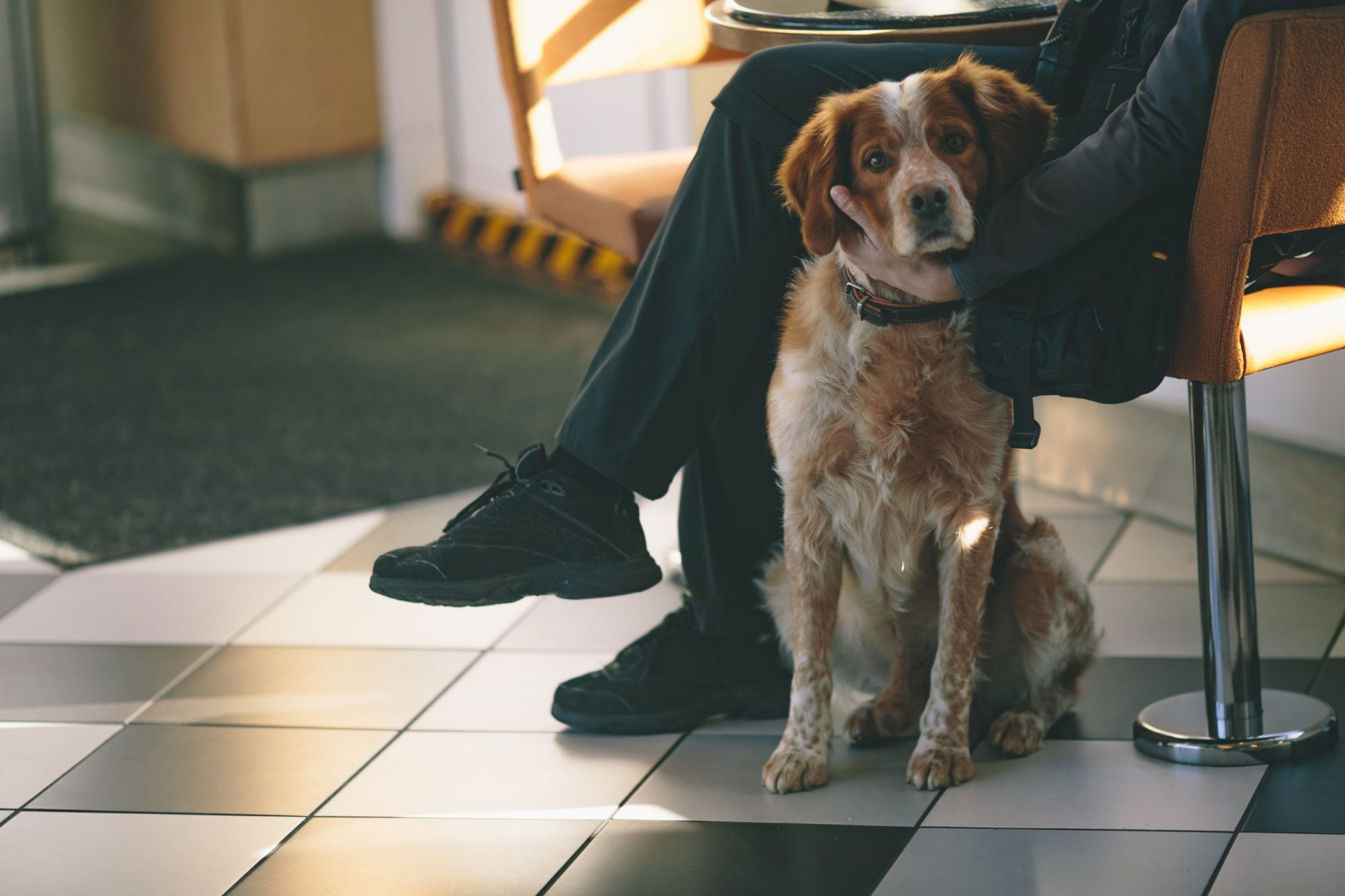 A brown and white dog waiting for a veterinarian appointment with its owner.