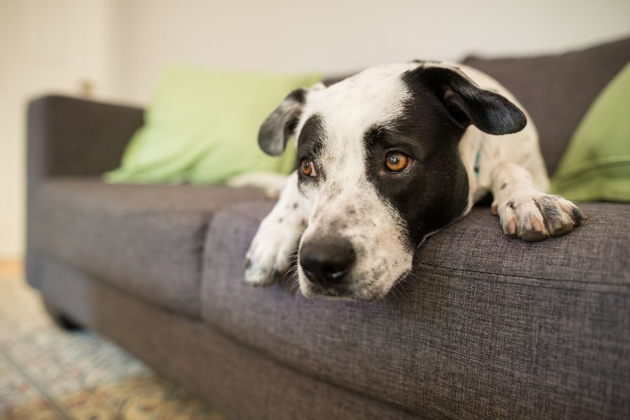 A sad dog rests on the couch.