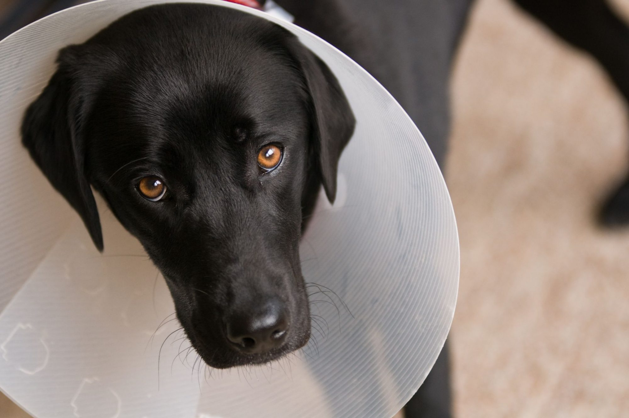 A black dog in a cone.