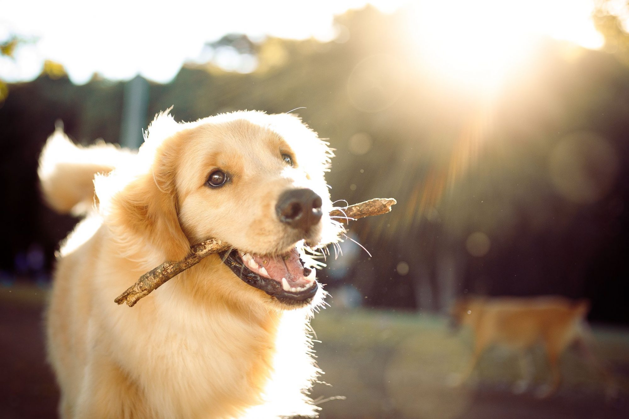 A hydrated dog in the sun, playing with a stick.