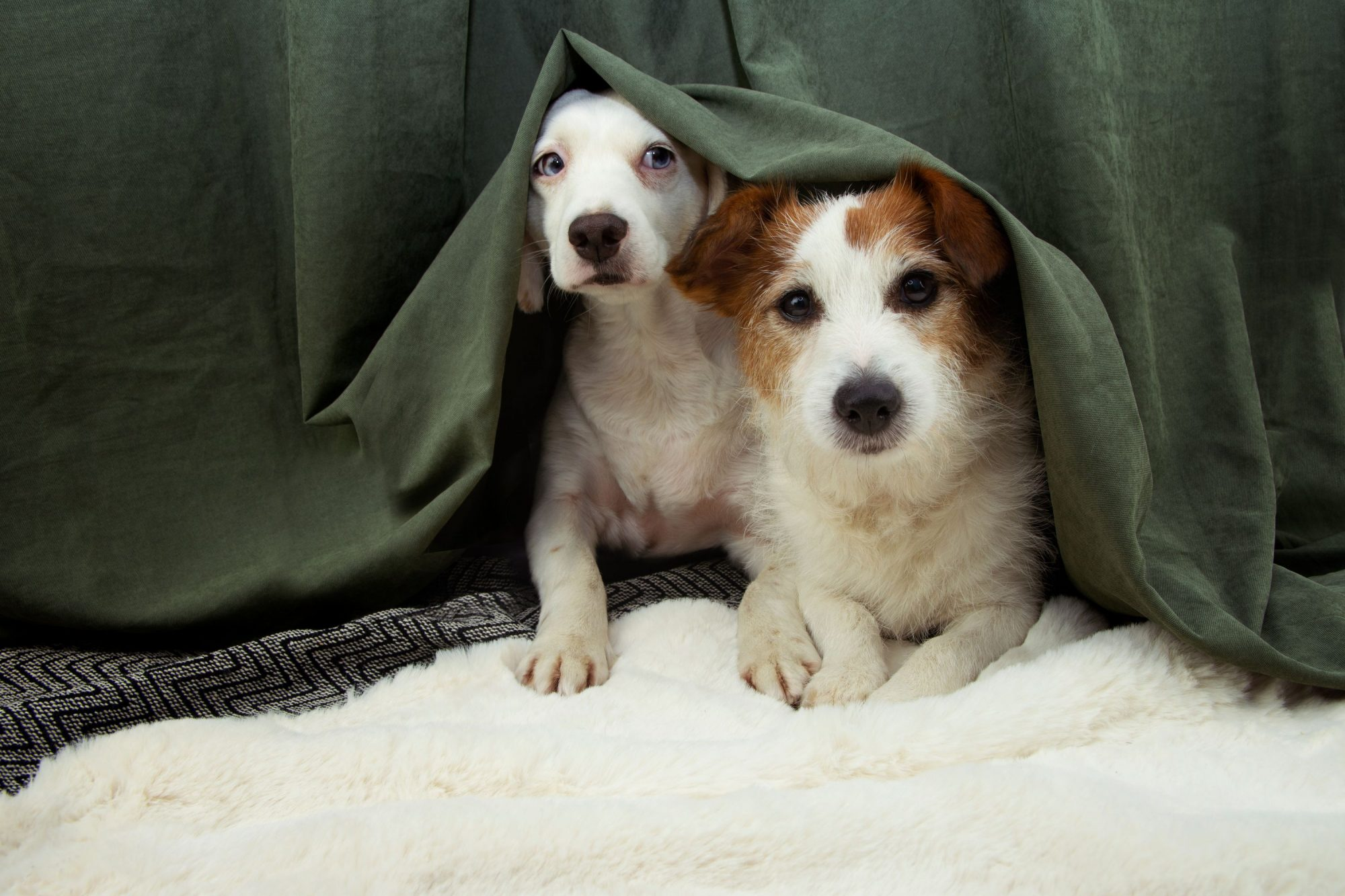 Two small dogs hide from firework sounds under a bed. .